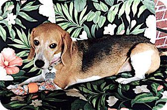 Beagle Dog for adoption in Houston, Texas - Snooki