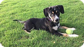 Labrador Retriever/Beagle Mix Puppy for adoption in Chicago, Illinois - Piper
