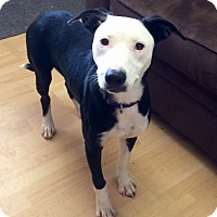 Adopt A Pet :: Chanel in CT - Manchester, CT