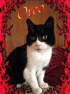Domestic Shorthair Cat for adoption in Brainardsville, New York - Oreo