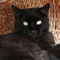 Domestic Longhair Cat for adoption in Los Angeles, California - Cutie Pie