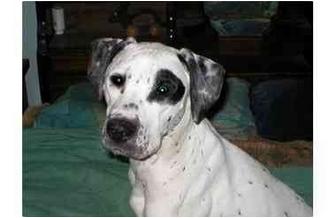 Dalmatian Mix Dog for adoption in Milwaukee, Wisconsin - Duke