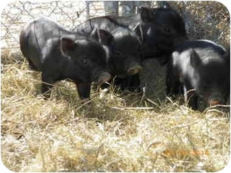 Pig (Potbellied) for adoption in Las Vegas, Nevada - 4 Piglets born 2/05/10
