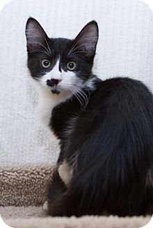 Domestic Shorthair Kitten for adoption in Irvine, California - Jolie