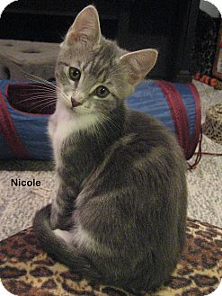 Domestic Shorthair Kitten for adoption in Portland, Oregon - Nicole