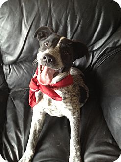 Australian Cattle Dog/Border Collie Mix Dog for adoption in Ft. Collins, Colorado - Dally