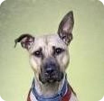 American Pit Bull Terrier/Shepherd (Unknown Type) Mix Dog for adoption in Brooklyn, New York - Regina
