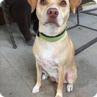 Adopt A Pet :: Sugar-Adoption Pending! - Hillsboro, IL