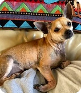 Chihuahua Dog for adoption in Ft Myers Beach, Florida - I love my sister!!
