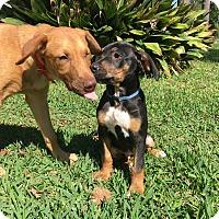 Adopt A Pet :: Puppy Max - Brattleboro, VT