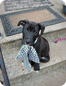 Labrador Retriever/Pit Bull Terrier Mix Puppy for adoption in Detroit, Michigan - Patrick-Pending!