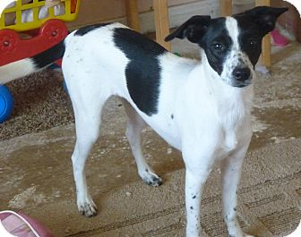 Terrier (Unknown Type, Medium)/Whippet Mix Dog for adoption in Cranford, New Jersey - BONNIE