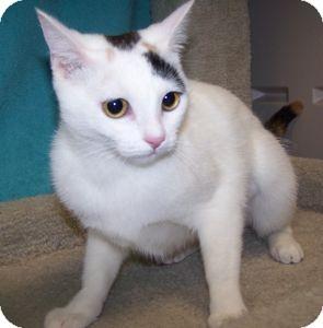Calico Cat for adoption in Colorado Springs, Colorado - Sissy