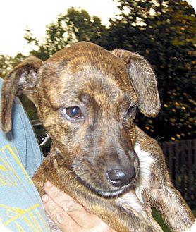 Labrador Retriever Mix Puppy for adoption in Homewood, Alabama - Ellie