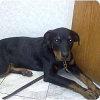 Adopt A Pet :: Cyrus - Brewster, NY