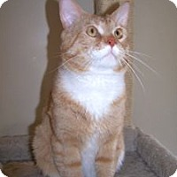 Adopt A Pet :: Kit Kat - Colorado Springs, CO