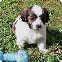 Adopt A Pet :: Andrew - La Habra Heights, CA
