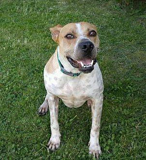 Boxer/Hound (Unknown Type) Mix Dog for adoption in Hedgesville, West Virginia - Julian