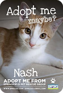 Domestic Shorthair Kitten for adoption in Jacksonville, Florida - Nash
