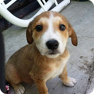 Collie/Retriever (Unknown Type) Mix Puppy for adoption in LAKEWOOD, California - James