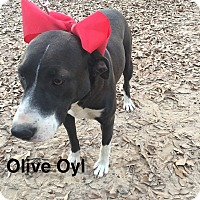 Adopt A Pet :: Olive Oyl - Manchester, CT