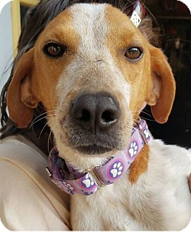 Redtick Coonhound Dog for adoption in Fredericksburg, Virginia - Paisley