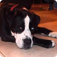 Adopt A Pet :: Bain - San Antonio, TX