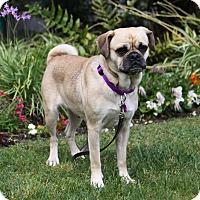 Adopt A Pet :: ALANA - Newport Beach, CA