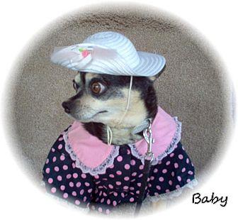 Chihuahua Dog for adoption in Tucson, Arizona - Baby