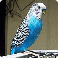 Adopt A Pet :: Blue - Lenexa, KS