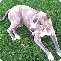 American Pit Bull Terrier Dog for adoption in Redmond, Oregon - Elsa