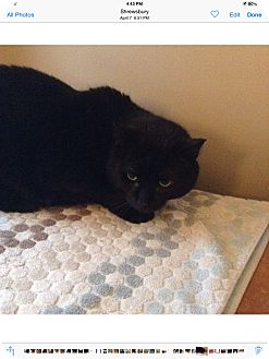 Domestic Mediumhair Cat for adoption in Worcester, Massachusetts - Midnight