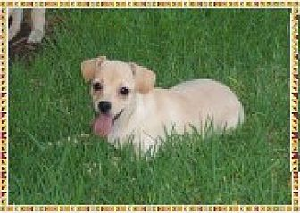 Terrier (Unknown Type, Small)/Jack Russell Terrier Mix Puppy for adoption in Colton, California - Dougy