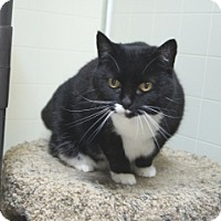 Domestic Shorthair Cat for adoption in Libby, Montana - Precious II