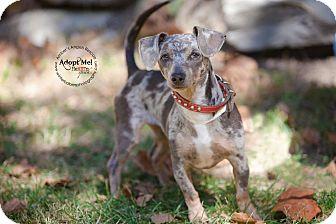 Dachshund Mix Dog for adoption in Goldens Bridge, New York - Merle*Good w/ Dogs&LovesExerci