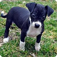 Adopt A Pet :: Scarlet - Bridgeton, MO