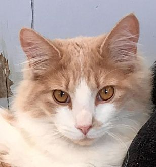 Domestic Mediumhair Kitten for adoption in Lancaster, California - Jack