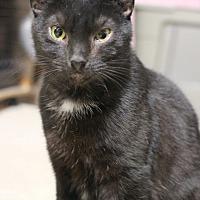 Domestic Shorthair Cat for adoption in Carlisle, Pennsylvania - Cole