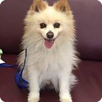 Adopt A Pet :: Brady - Fountain Valley, CA