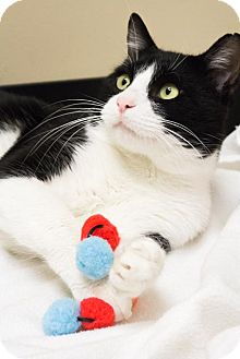 Domestic Shorthair Cat for adoption in Chicago, Illinois - Cosmo