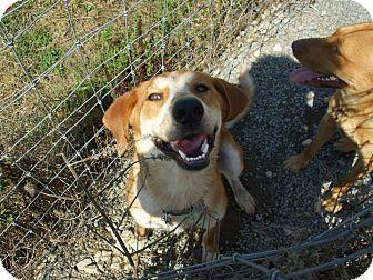 Husky/Hound (Unknown Type) Mix Dog for adoption in Carey, Ohio - Brutus