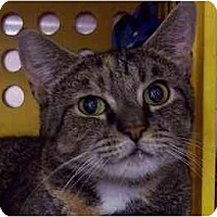 Adopt A Pet :: Tiger Lily - Annapolis, MD
