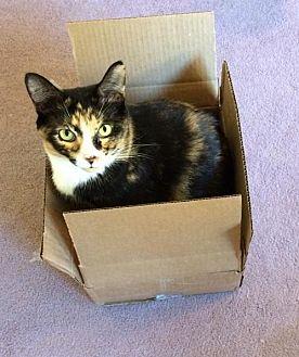 Domestic Shorthair Cat for adoption in Melbourne, Florida - Mandie