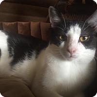 Domestic Shorthair Cat for adoption in Burlington, North Carolina - LUKE