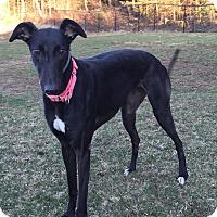 Adopt A Pet :: Sheba - Swanzey, NH