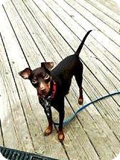 Miniature Pinscher Dog for adoption in Holland, Ohio - Matthew