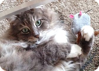 Domestic Longhair Cat for adoption in Mount Pleasant, South Carolina - Sweetie Pie