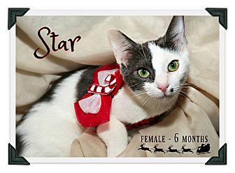 Domestic Shorthair Kitten for adoption in Fallbrook, California - Star