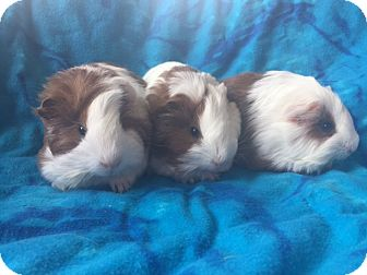 Guinea Pig for adoption in Steger, Illinois - Judge