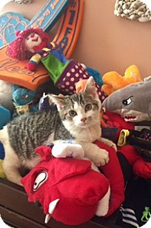Domestic Shorthair Kitten for adoption in Whitestone, New York - Joey-joe